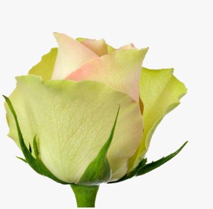 Intermediate Roses